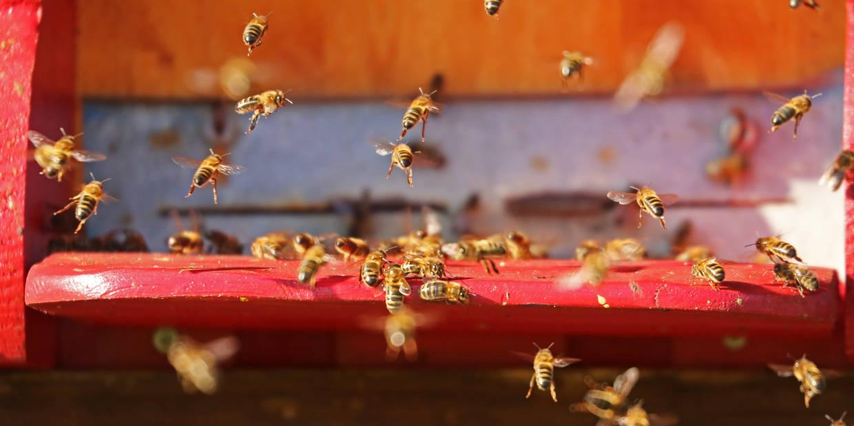Bienen im Anflug auf die Beute